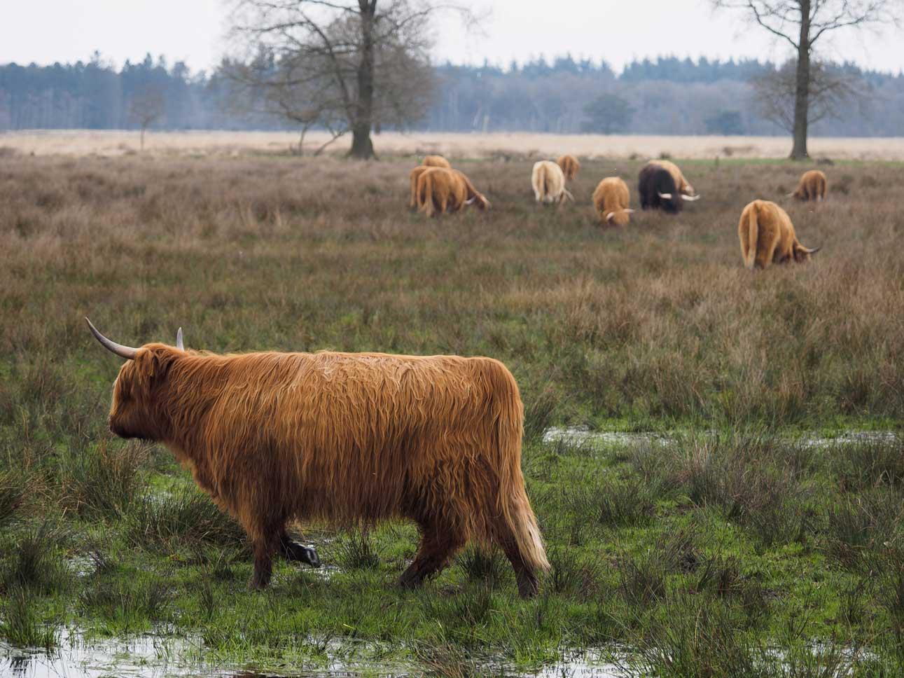 Koeien op een heideveld