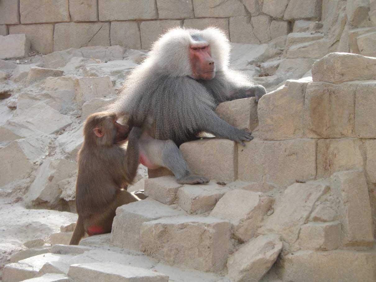 Twee bavianen op een rots